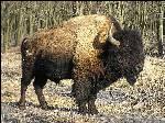 Бизон в дикой природе